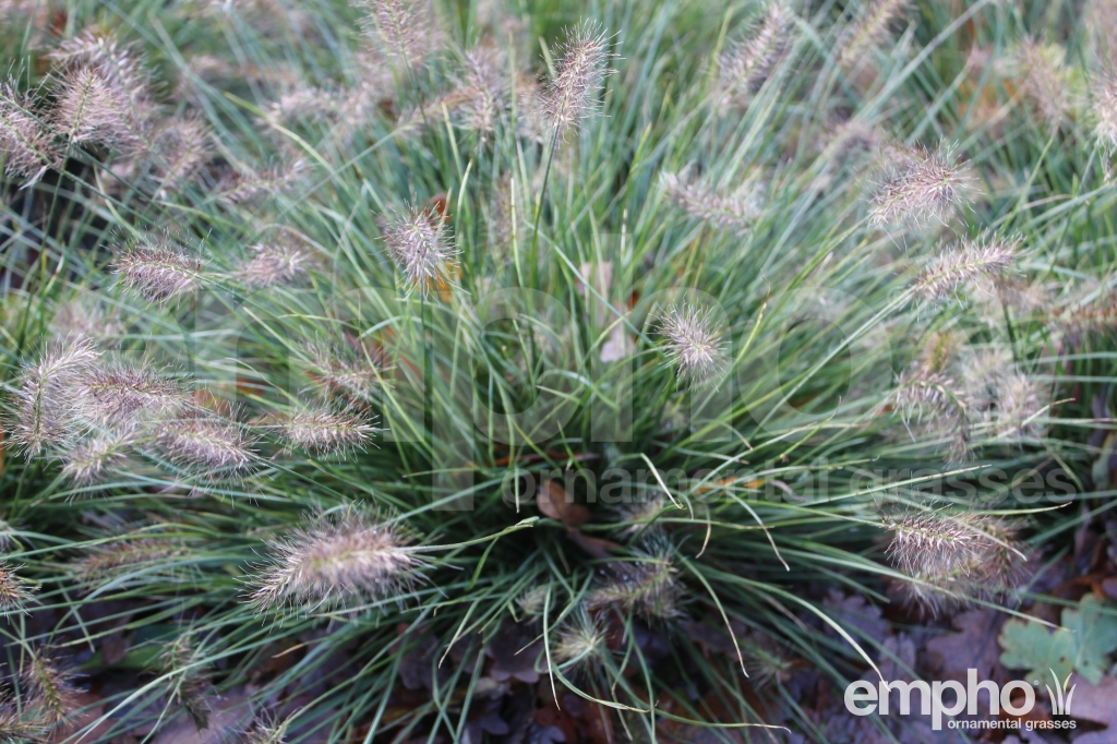 Pennisetum al. 'Little Honey'