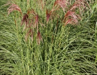 Miscanthus sinensis Red Cloud® ('EMPMIS01'PBR)