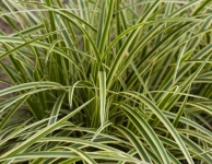 Carex morrowii 'Vanilla Ice'