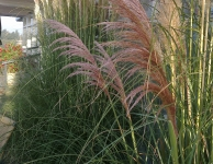 Cortaderia se. 'Pink Feather'